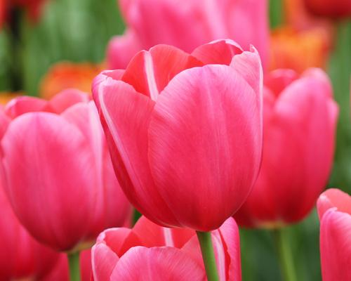Tulipán ´Renown´/kontejner