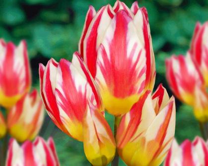 Tulipán ´Tricolette´/kontejner