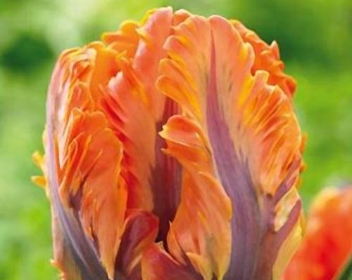 Tulipán ´Orange Rococo´/kontejner