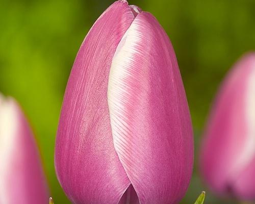 Tulipán ´Jumbo Beauty'/kontejner