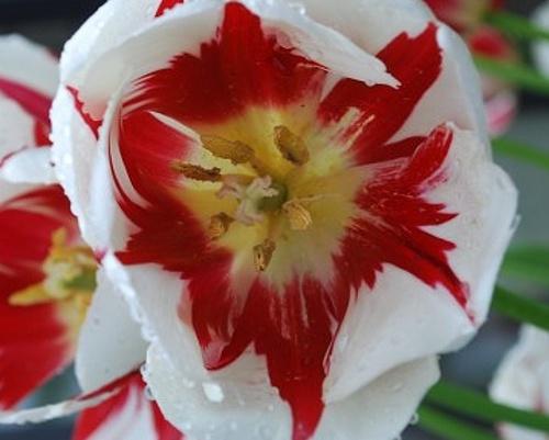 Tulipán ´World Expression´/kontejner