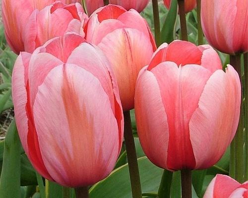 Tulipán ´Design Impression´/kontejner