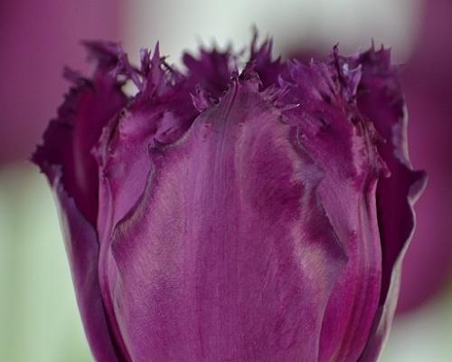 Tulipán ´Gorilla'/kontejner