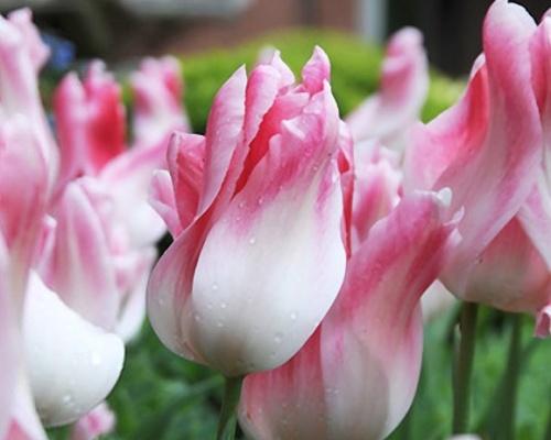 Tulipán ´Holland Chic´/kontejner