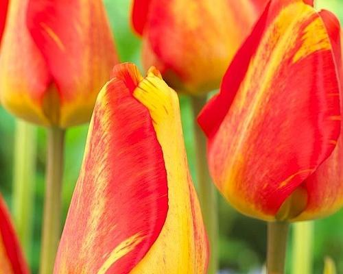 Tulipán ´Mystic Garant´/kontejner