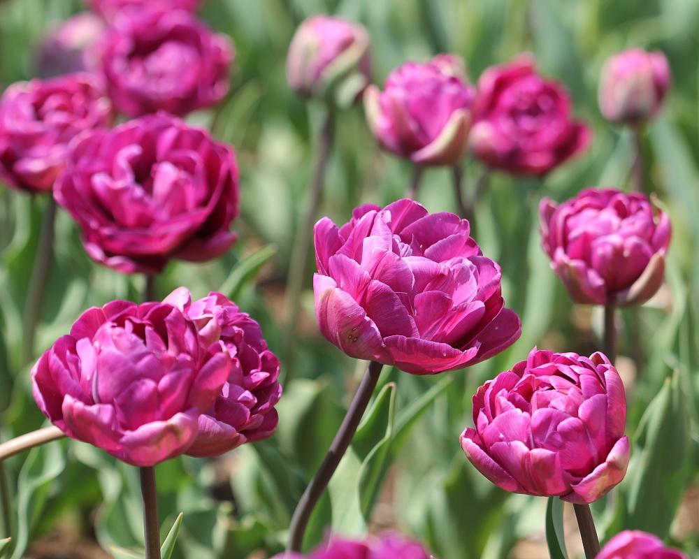 Tulipán ´Blue Diamond´/kontejner