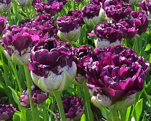 Tulipán ´Blue Wow´/kontejner