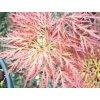 Acer palmatum Mutsu beni shidare (2)