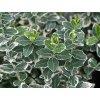 Brslen Fortuneův 'Emerald Gaiety' - Euonymus fortunei 'Emerald Gaiety' (Balení kontejner p8-p9, Tvar šířka 10-15 cm)