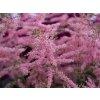 Čechrava simplicifolia 'Henny Graafland' - Astilbe simplicifolia 'Henny Graafland'