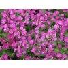 Huseník kavkazský  ´Little Treasure Deep Rose´ - Arabis caucasica 'Little Treasure Deep Rose'