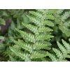 Kapraď rezavá ´Pinderi´ - Dryopteris affinis 'Pinderi'