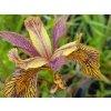Kosatec žlutý ´Holden Clough´- Iris pseudacorus ´Holden Clough´