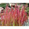 Lalang válcovitý ´Red Baron´ - Imperata cylindrica 'Red Baron'