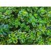 Mateřídouška citrónová ´Aureus´ - Thymus x citriodorus 'Aureus'