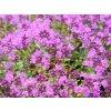 Mateřídouška praecox ´Red Carpet´ - Thymus praecox 'Red Carpet'