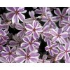 Plaménka šídlovitá ´Candy Striped´ - Phlox subulata 'Candy Striped'