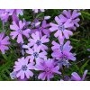 Plaménka šídlovitá ´Purple Beauty´ - Phlox subulata 'Purple Beauty'