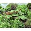Reveň dlanitá tangutská - Rheum palmatum var. tanguticum