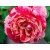 Růže ´Best Impression®´