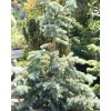 Picea pungens (1)