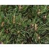 Pinus sylvestris 'Watereri Nana' (2)
