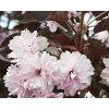 Sakura ozdobná ´Royal Burgundy´