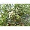Sekvojovec obrovský