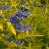 Caryopteris clandonensis - ořechoplodec
