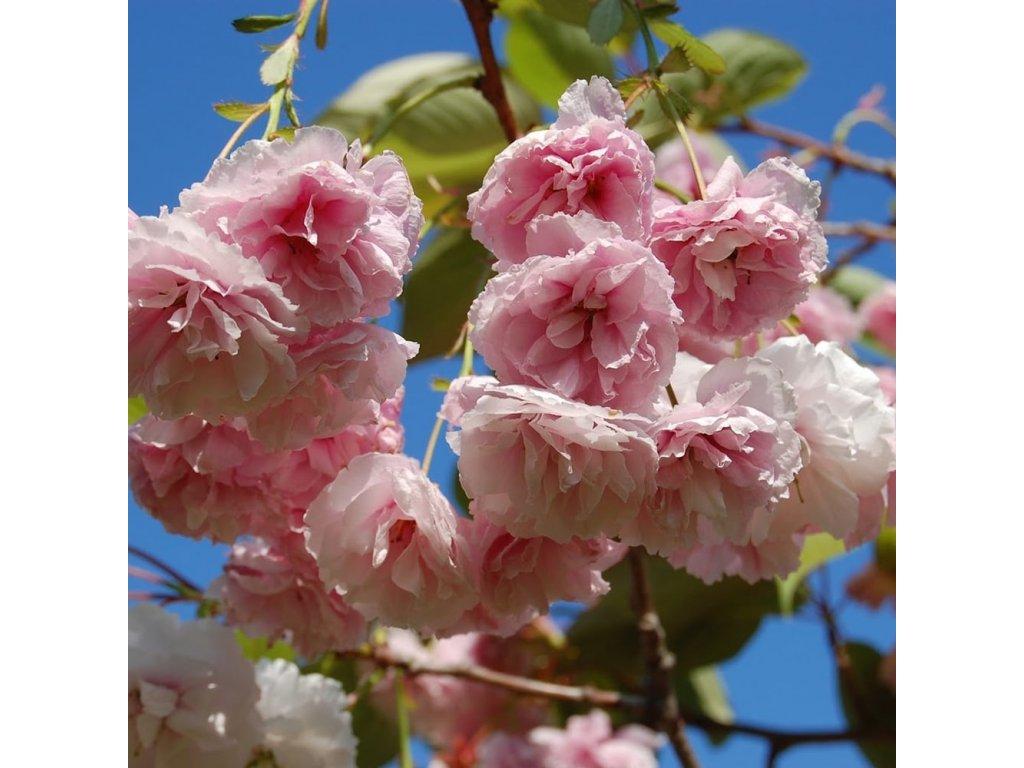 prunus shirofugen tree p3380 24339 image