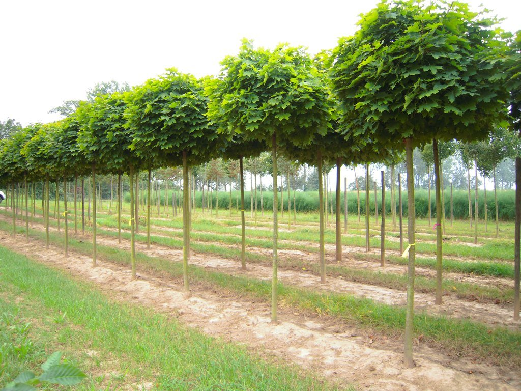 Acer campestre Nanum - Javor s kulovitou korunou