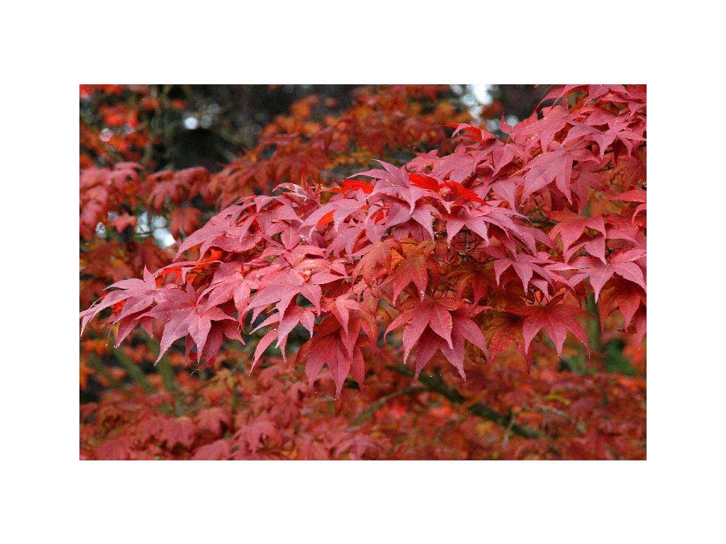 Acer palmatum Atropurpureum - Japonský javor