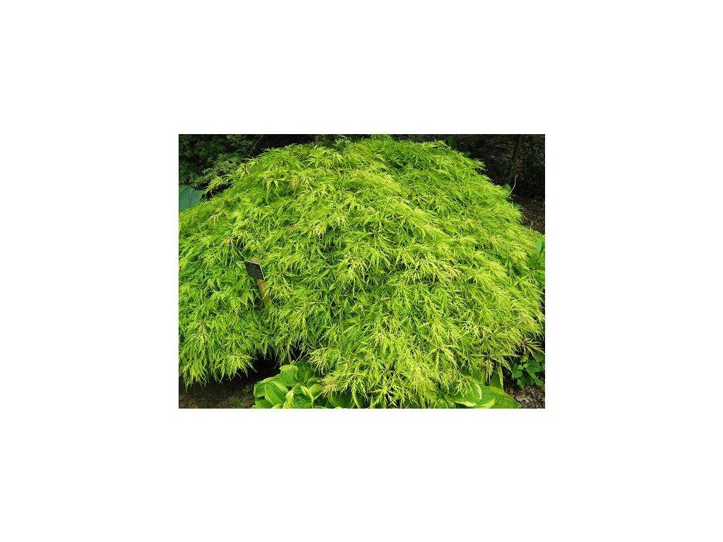 Acer palmatum Flavescens - Japonský javor