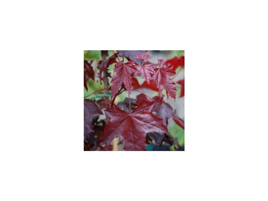 Acer platanoides Crimson Sentry - Javor červenolistý