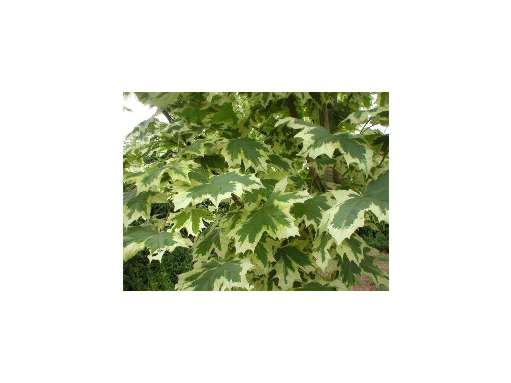 Acer platanoides Drummondii - Javor žíhaný