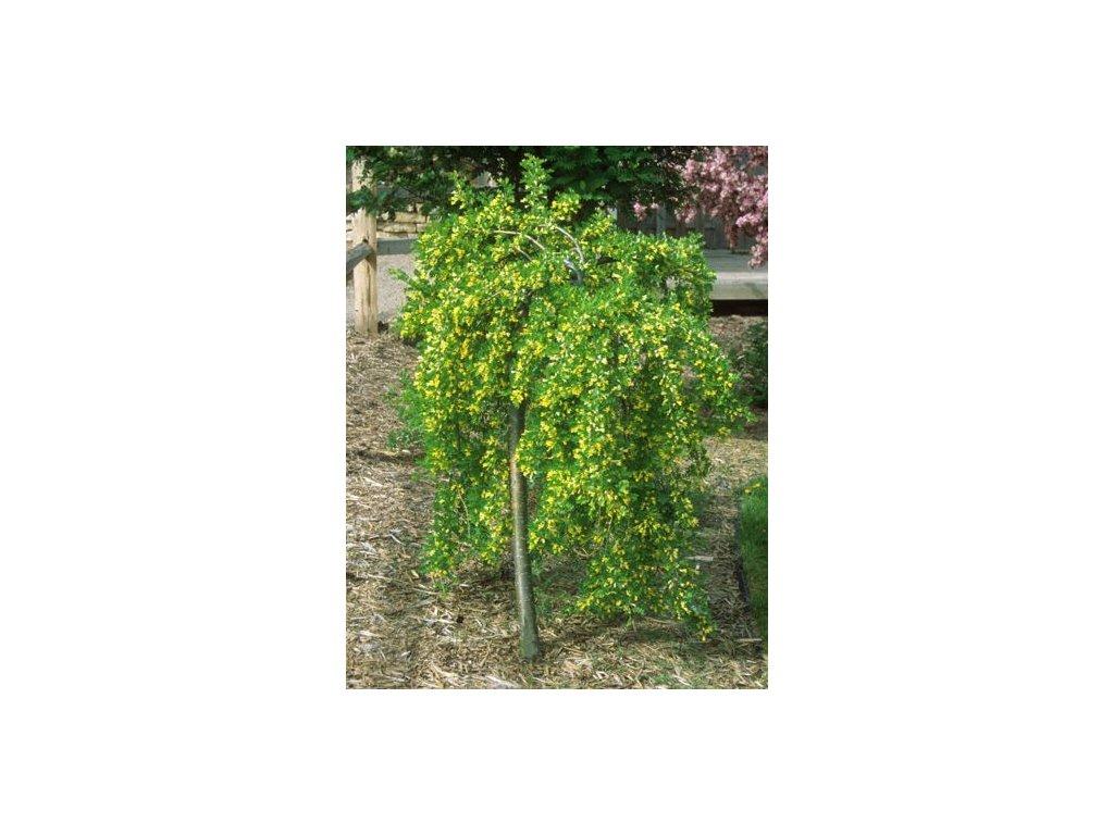 Caragana arborescens Pendula - Čimišník
