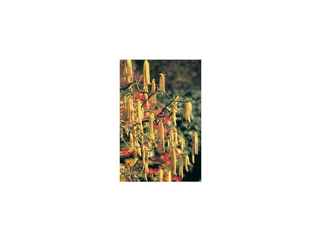 Corylus avellana Contorta - Líska s kroucenými větvemi