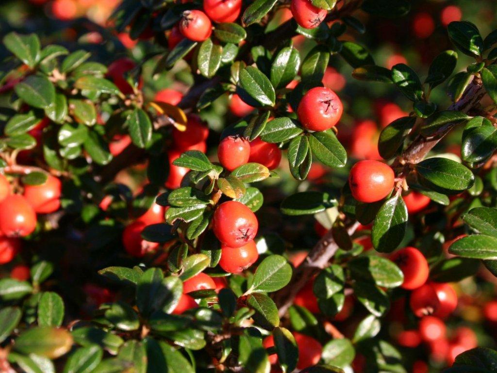 Cotoneaster dammeri - Skalník na kmínku