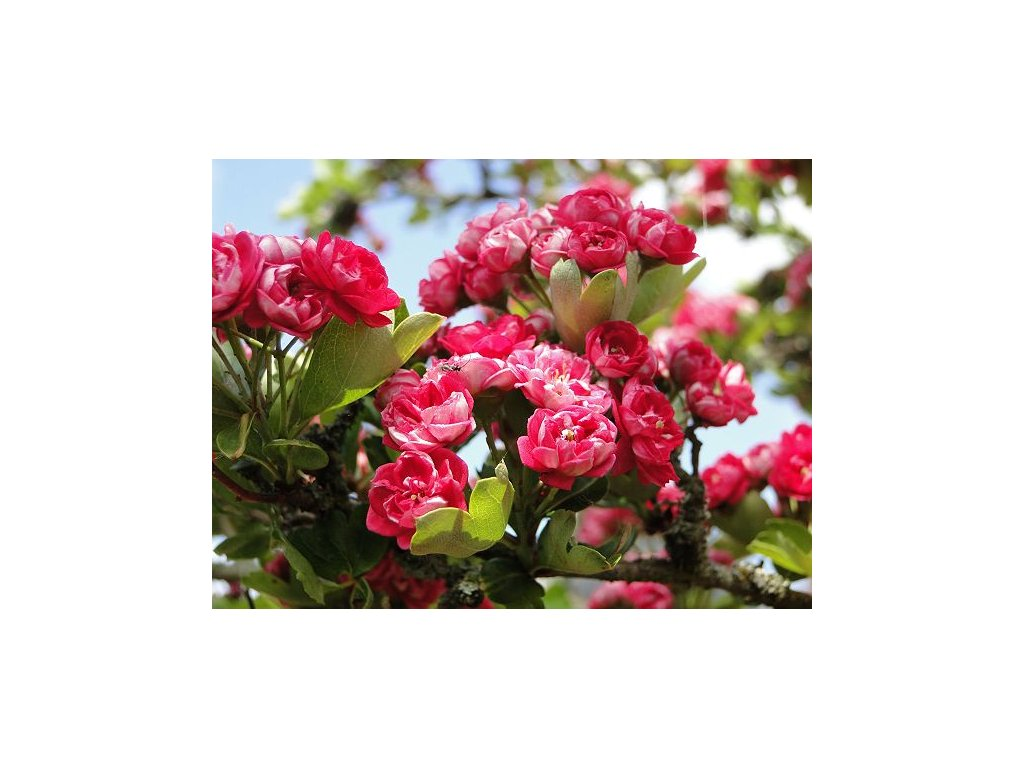 Crataegus leavigata Paul´s Scarlet - Hloh s růžovým květem