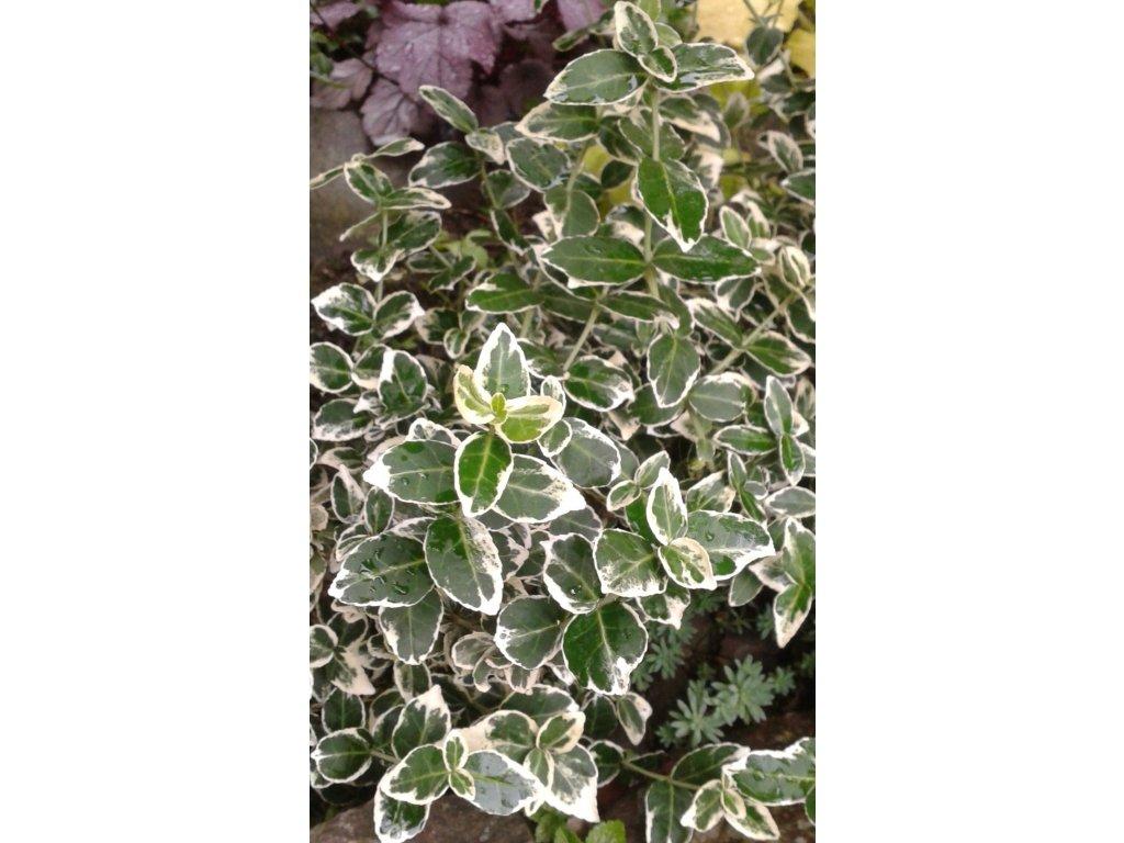 Euonymus fortunei Silver Queen - Brslen stříbrný list, kmínek
