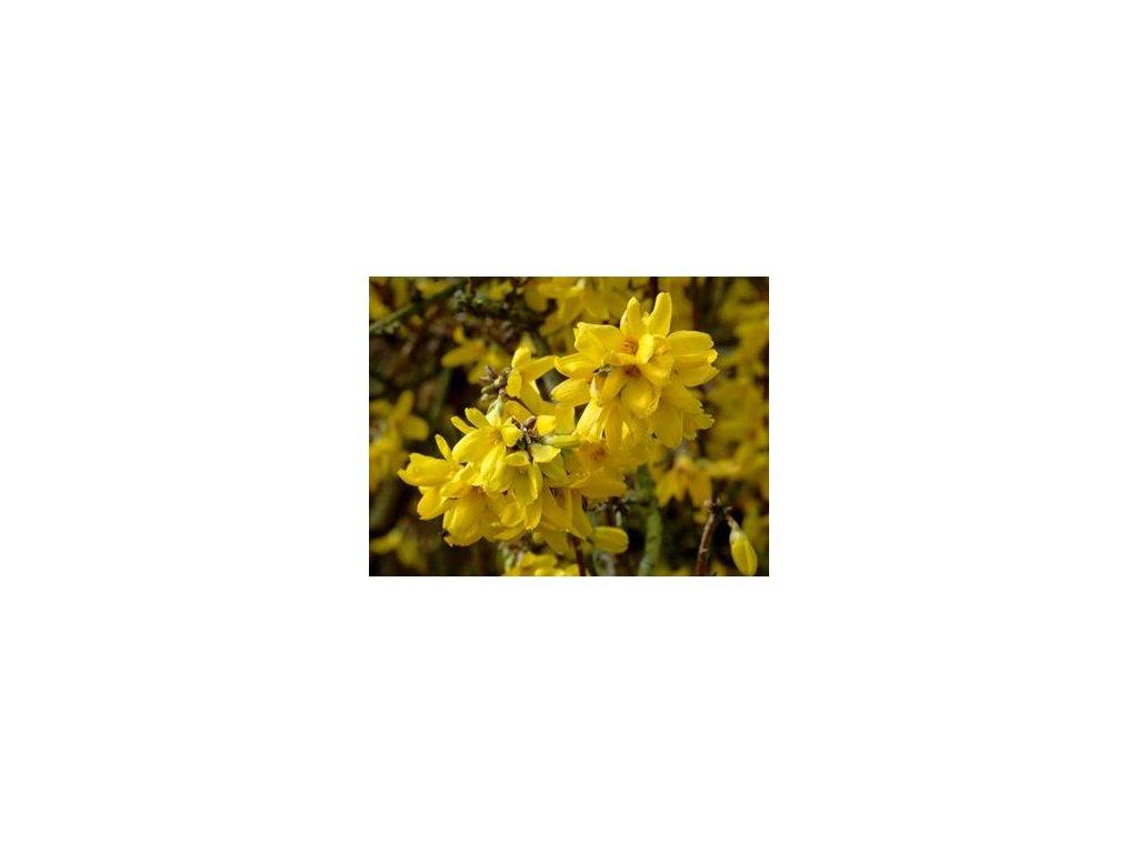 Forsythia intermedia Golden Zauber - Zlatice