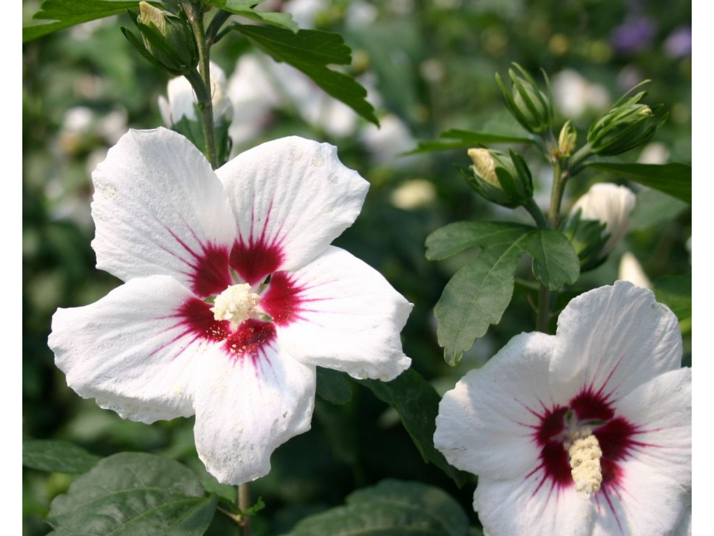 Hibiscus syriacus Red Heart - Ibišek