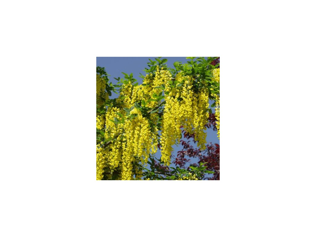 Laburnum watereri Vossii - Štědřenec, žlutý květ