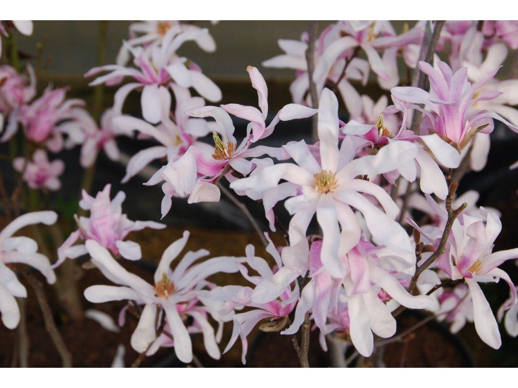 Magnolia loebneri Leonard Messel - Magnolie