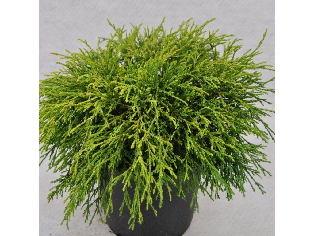 Chamaecyparis pisifera Sungold  - cypřišek