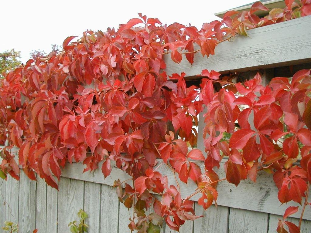 Parthenocissus quinquefolia Engelmannii  - Psí víno