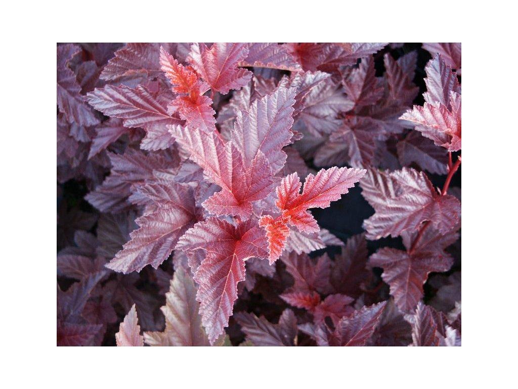 Physocarpus opulifolius Andre - Tavola, červený list