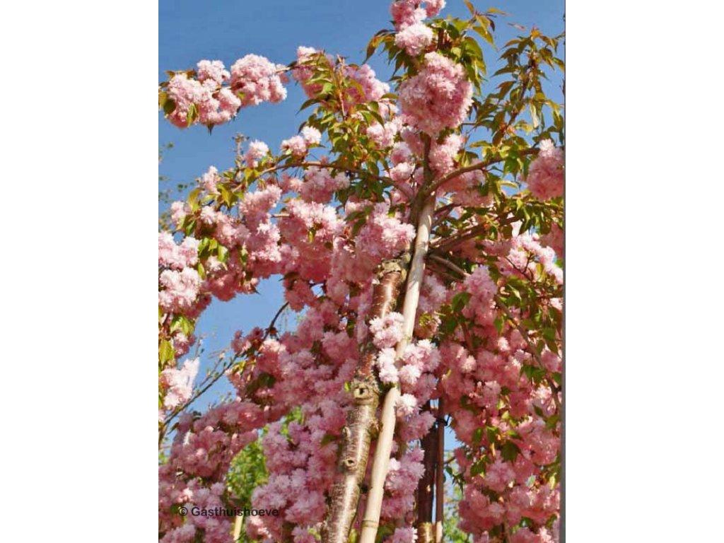 Prunus serrulata Kiku-Shidare Sakura - Sakura