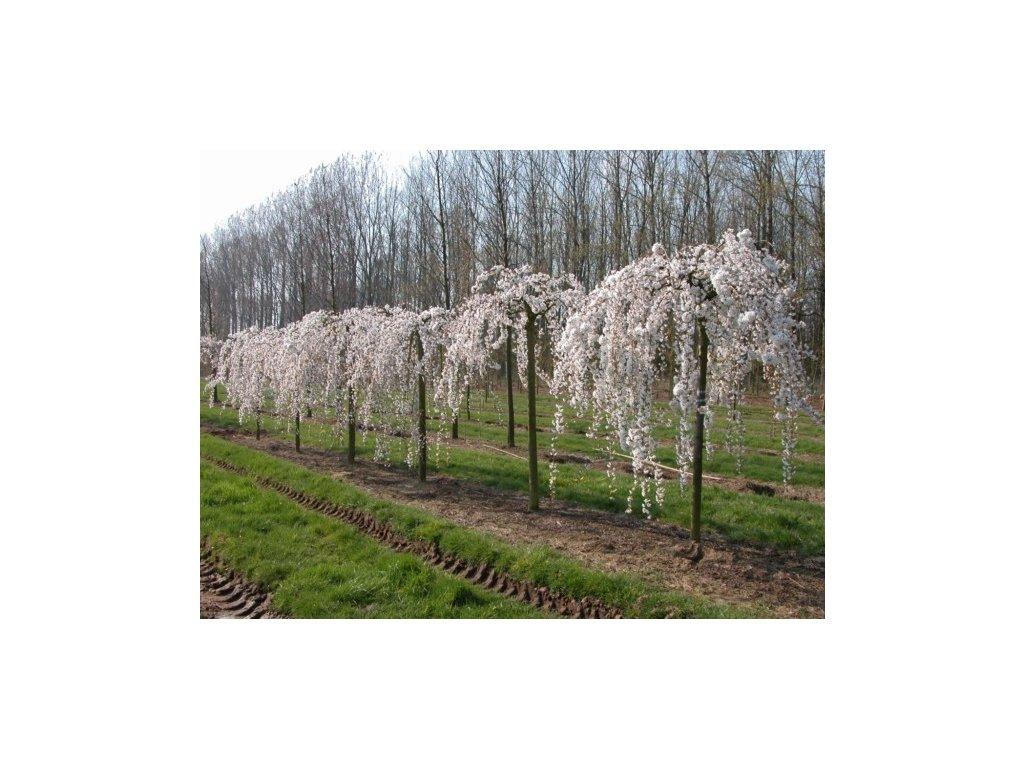 Prunus subhirtela Pendula - Převislá třešeň