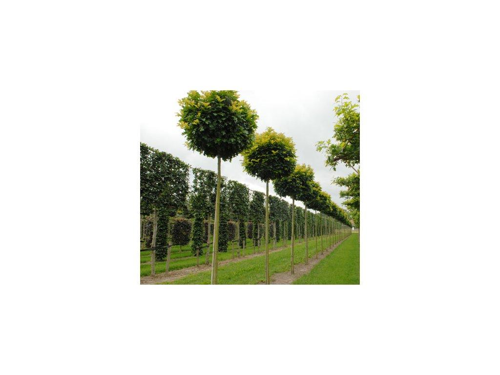Quercus palustris Green Dwarf - Dub